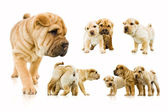 Set of funny sharpei puppies isolated on white background