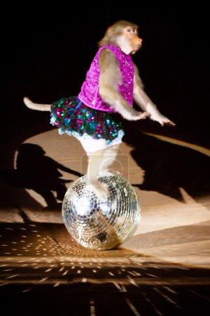 "LVIV, UKRAINE - AUGUST 18: Monkey performs in circus ""Kobzov"" o"