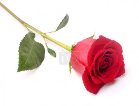 Photo pour La photo studio d'une rose rouge sur fond blanc . - image libre de droit