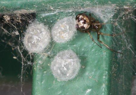 Photo pour Araignée à toile d'araignée triangulée ou araignée à peigne triangulé (Steatoda triangulosa) avec trois sacs d'œufs . - image libre de droit