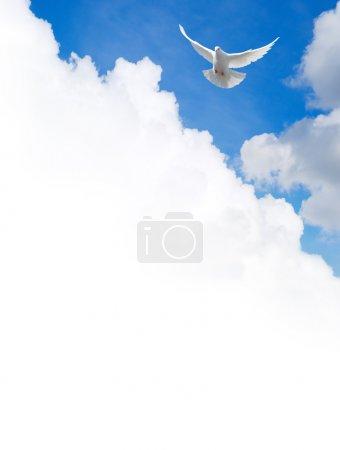 Photo pour Colombe blanche volant dans le ciel. Modèle avec un champ de texte . - image libre de droit