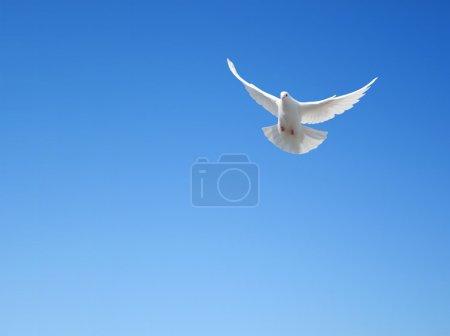 Photo pour Colombe Blanche volant dans le ciel - image libre de droit