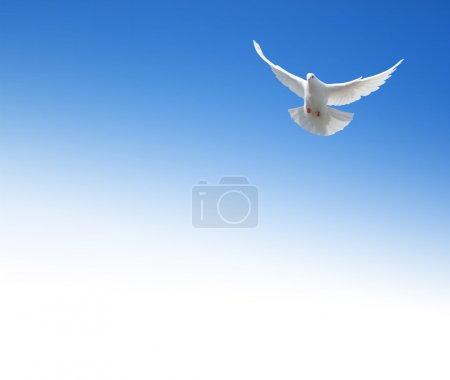 Photo pour Colombe Blanche volant dans le ciel. fond avec un champ de texte. - image libre de droit