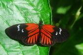 červený černý motýl na zelený list