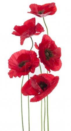 Foto de Estudio de fotografía de flores de color rojo amapola de colores aislados sobre fondo blanco. gran profundidad de campo (DOF). macro. flor nacional de beldium y polonia. - Imagen libre de derechos
