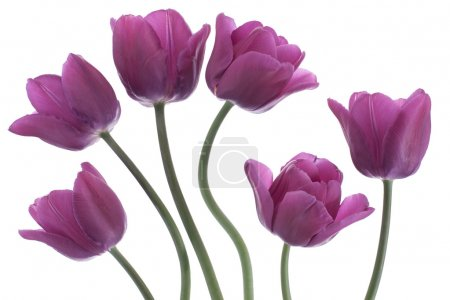 Photo pour Studio Prise de vue de fleurs de tulipes de couleur pourpre isolées sur fond blanc. Grande profondeur de champ (DOF). Macro. Fleur nationale des Pays-Bas, Turquie et Hongrie . - image libre de droit