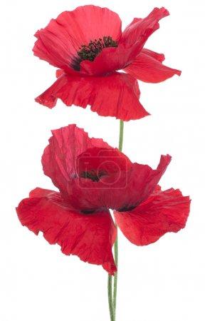 Photo pour Studio Shot de fleurs de pavot de couleur rouge isolé sur fond blanc. Grande profondeur de champ (DOF). Macro. Fleur Nationale de Beldium et de Pologne . - image libre de droit