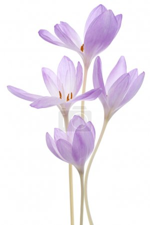 Photo pour Photo de Studio de fleurs colhicum couleur lilas isolés sur fond blanc. grande profondeur de champ (dof). macro. - image libre de droit