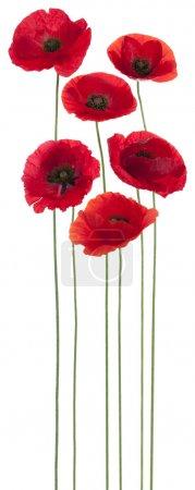 Foto de Estudio de fotografía de flores de color rojo amapola de colores aislados sobre fondo blanco. gran profundidad de campo (DOF). macro. Símbolo del sueño, del olvido y de la imaginación. - Imagen libre de derechos