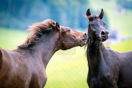 zwei Pferde spielen