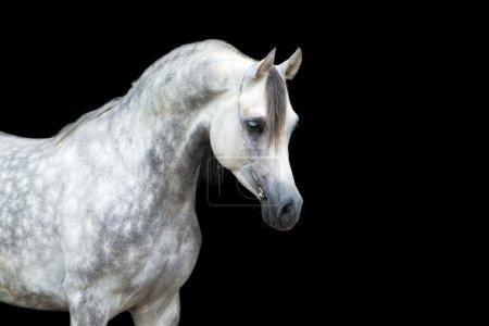 Photo pour Tête de cheval arabe isolé sur fond noir. - image libre de droit