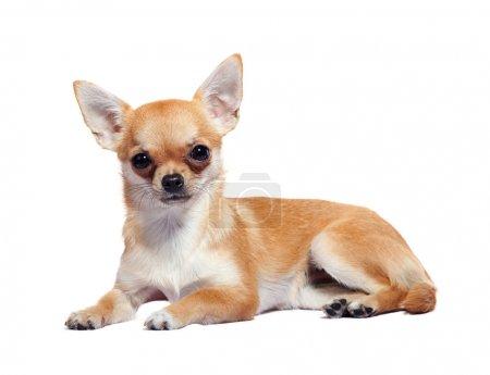 Chihuahua lying