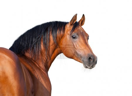 Foto de Cabeza de caballo castaño aislado sobre fondo blanco, caballo árabe. - Imagen libre de derechos