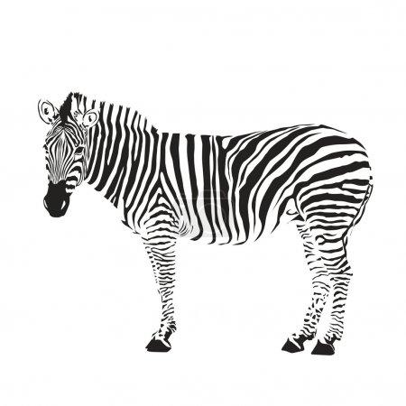 Illustration for Zebra silhouette - Royalty Free Image