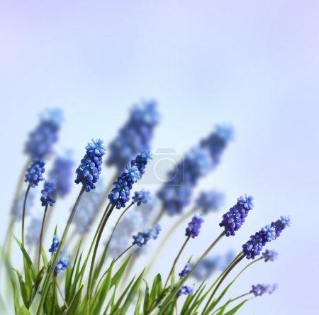 Photo pour Fleurs de printemps bleu - image libre de droit