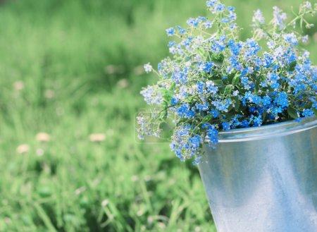 Photo pour Printemps fleurs bleues - image libre de droit