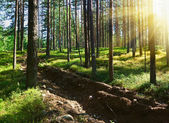 Sunbeams pour through trees in a pine forest