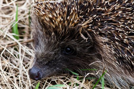 Hedgehog in a grass