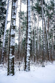 Snow on trees in winter forest.
