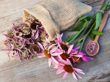 Photo for Bunch of healing coneflowers and sack with dried echinacea flowers on wooden plank, herbal medicine - Royalty Free Image