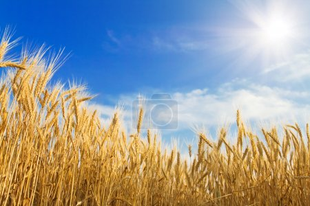 Photo for Golden wheat on blue sky background - Royalty Free Image