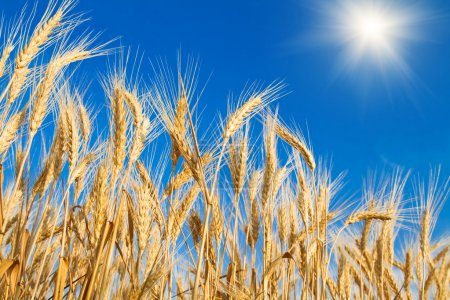 Photo for Golden wheat field on blue sky - Royalty Free Image