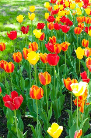 red, orange and yellow tulips
