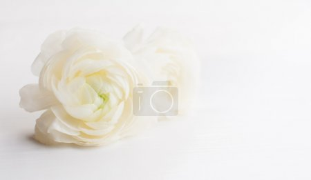 Two fresh spring big ranunculus flowers on a white...