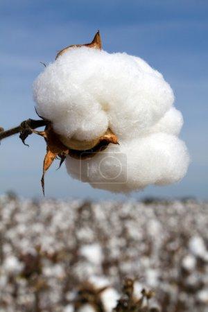 Photo pour Poupée de coton dans un champ prêt à être récolté . - image libre de droit