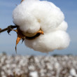 Cotton boll in a field ready to be harvested....