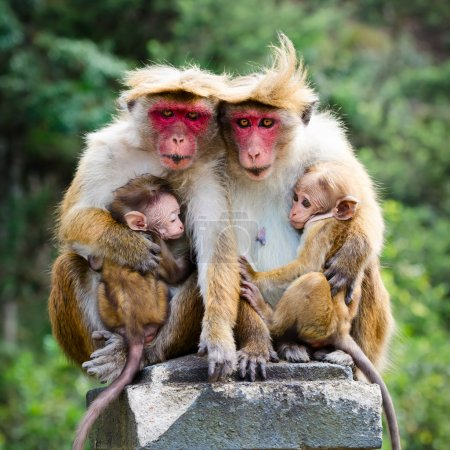 Photo for Monkey family with two babies. Red faces macaque (Macaca fuscata). - Royalty Free Image