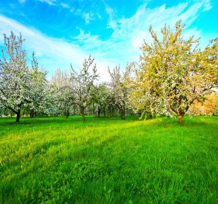 Photo pour Belle floraison de pommiers blancs décoratifs et d'arbres fruitiers sur un ciel bleu vif dans un parc printanier coloré plein d'herbe verte à l'aube avec les premiers rayons du soleil, cœur de la nature féerique - image libre de droit