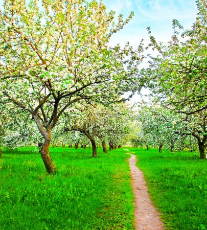 Blooming of decorative white apple and fruit trees