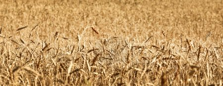 Photo for Ripening ears of wheat field - Royalty Free Image
