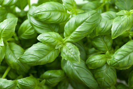 Photo for Fresh basil leaves - Royalty Free Image