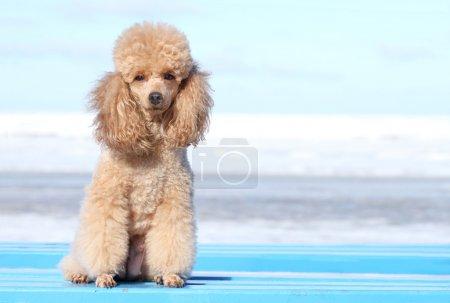Miniature poodle portrait