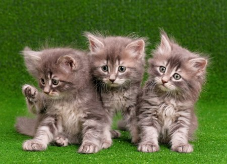 Photo for Cute gray kittens on artificial green grass - Royalty Free Image