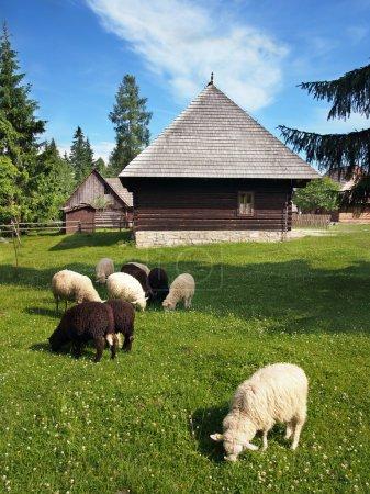 Photo pour Troupeau de moutons noirs et blancs avec des bâtiments en rondins folkloriques dans le musée en plein air de Pribylina, Slovaquie. Le musée en plein air de Pribylina présente l'architecture folklorique typique et le style de vie des communautés rurales slovaques des siècles précédents. . - image libre de droit