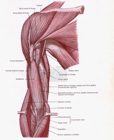 Photo for Dissection of muscles on the front of the upper arm, from an early 20th century anatomy textbook, out of copyright - Royalty Free Image