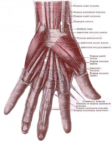 Photo for Dissection of the hand - superficial muscles and tnedons in the palm, from an early 20th century anatomy textbook, out of copyright - Royalty Free Image