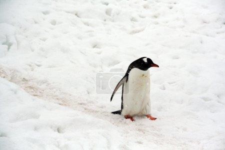Gentoo penguin, light snow storm,