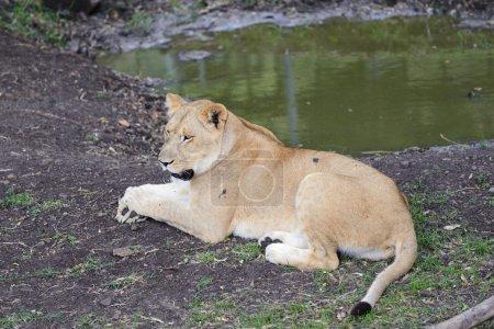 Photo pour Lionne solitaire près de la piscine, Ile Maurice, Casela park - image libre de droit