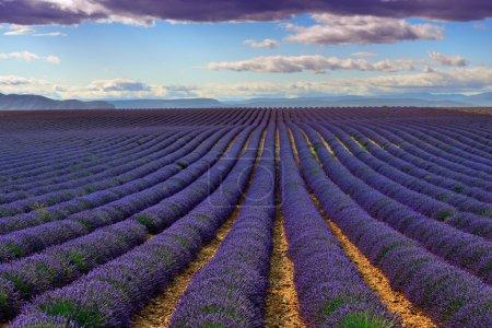 Photo pour Superbe paysage avec champ de lavande le soir. Plateau de Valensole, Provence, France. Image filtrée - image libre de droit