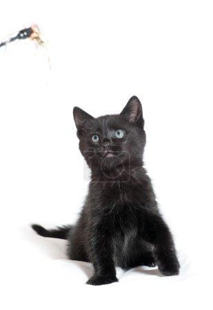 Little black kitten. age of 1.5 months
