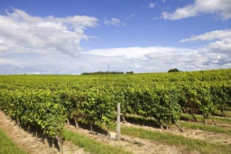 Photo pour Vignoble dans les champs ruraux de Bordeaux, France - image libre de droit