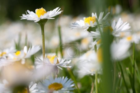 Beautiful daisies. Floral background.