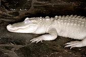 Alligator Albino