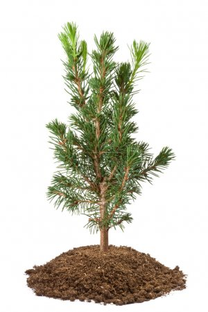 Photo for Young spruce sapling. Isolated on a white. - Royalty Free Image