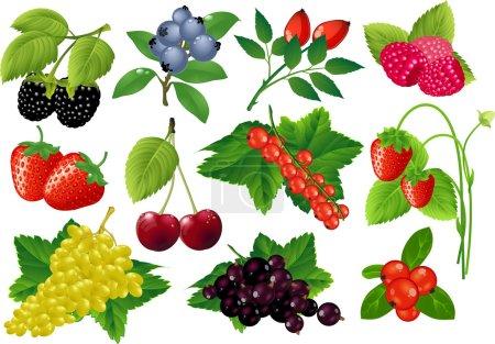 Vector berries huge collection.
