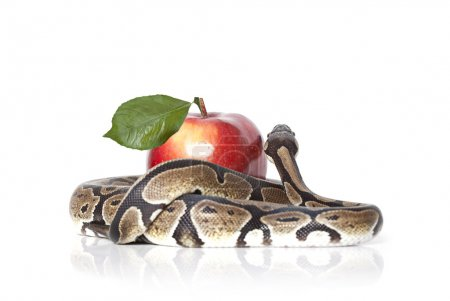 Python Snake with apple